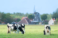 Cows in Dutch landscape in Holland Stock Photography