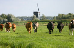 Cows in dutch landscape wm1 Royalty Free Stock Photography