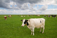 Cows in dutch meadow Royalty Free Stock Images