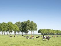 Cows in dutch meadow on sunny summer day in south holland near vianen. Cows in dutch meadow on sunny summer day in the netherlands Royalty Free Stock Photo