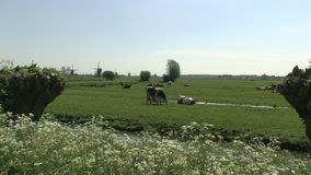 Cows in a Dutch meadow with windmills stock video footage