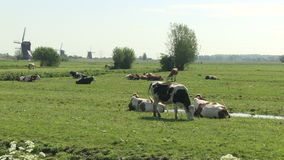 Cows in a Dutch meadow with windmills stock video