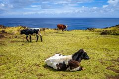 Cows on easter island cliffs Royalty Free Stock Image