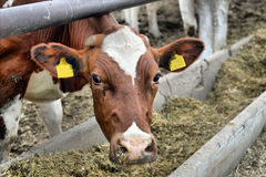 Cows eat feed Royalty Free Stock Photos