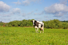 Cows eat grass Royalty Free Stock Photos