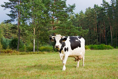 Cows eat grass Stock Photo