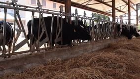 Cows eat grass in a cattle shed stock video footage