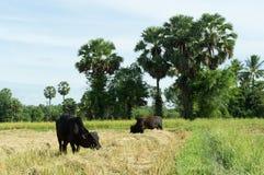 Cows eat grass Royalty Free Stock Photos