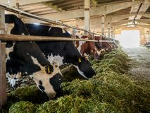Free Cows Eat Grass In The Barn. A Farm Where Cattle Are Bred. Cattle Fattening For The Production Of Milk And Meat Stock Image - 164428951