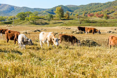 Cows eat grass Royalty Free Stock Image