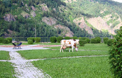 Cows eat grass on the square of the city Divnogorsk Stock Photography