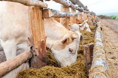 Cows eat hay from feeding rack Royalty Free Stock Photography