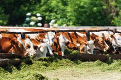 The cows eat silage Royalty Free Stock Photo