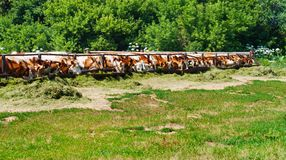 The cows eat silage Stock Photos