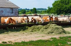 The cows eat silage Royalty Free Stock Images