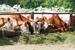 The cows eat silage Royalty Free Stock Image