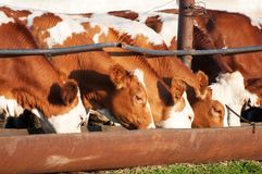 The cows eat silage Stock Photo