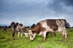 Cows eating Stock Photography