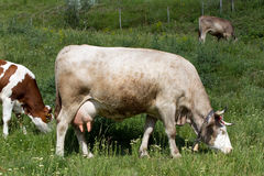 Cows eating. Three cows eating some grass Royalty Free Stock Images