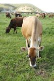 Cows eating. Cows in a lush field eating some green grass Stock Image