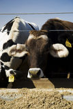 Cows Eating. At a trough on a rural farm in California stock photography