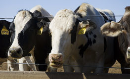 Cows Eating. At a trough on a rural farm in California Royalty Free Stock Photo