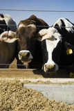 Cows Eating. At a trough on a rural farm in California stock images