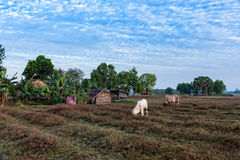 Cows eating at Anlung Pring Protected Landscape Royalty Free Stock Photography