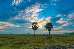 Cows eating at Anlung Pring Protected Landscape Stock Photos