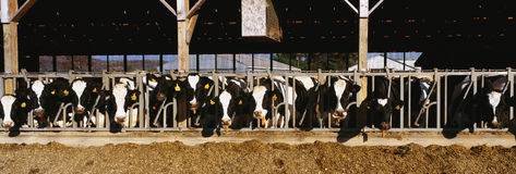 Cows eating breakfast at a dairy farm.