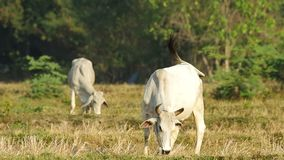 Cows eating in the dry paddy field stock video footage