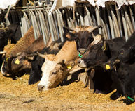 Cows eating in farm. Several cows eating grass in a farm royalty free stock photo