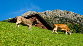 Cows eating in front of a barn alpine scene Stock Photo