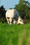 Cows eating grass Stock Photos