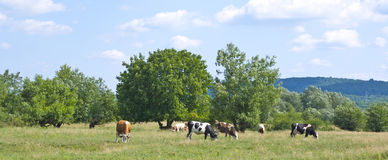 Cows eating grass. Lots of cows eating grass on a beautiful green land Royalty Free Stock Photography