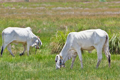 Cows eating grass Stock Images
