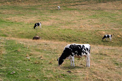 Cows eating grass Stock Image