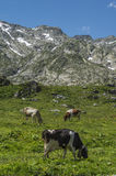 Cows eating grass on alpine mountain Royalty Free Stock Photos