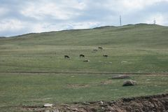 Cows eating grass. In Tangerian speppes near Baikal lake Stock Photo