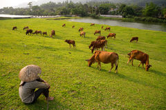 The cows are eating grass on the field Royalty Free Stock Image