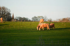Cows eating grass on a field Royalty Free Stock Image