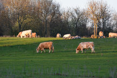 Cows eating grass on a field Royalty Free Stock Photo