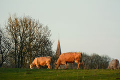 Cows eating grass on a field Stock Photography