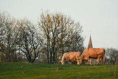 Cows eating grass on a field Stock Photos