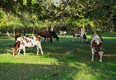 Cows eating grass on field surrounded by woods.  Royalty Free Stock Photography