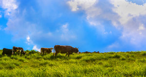 Cows. Eating grass on high ground Royalty Free Stock Image