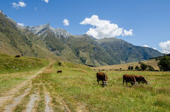 Cows eating grass at a meadow. With mountains and a trail Royalty Free Stock Images