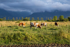 Cows eating grass on a meadow. With dark clouds in the background. Image taken near the city Hateg, in Romania Stock Photos