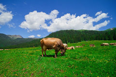 Cows eating grass in a mountain field Royalty Free Stock Images