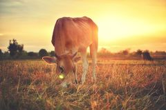 The cows are eating grass for pleasure in the fields at sunrise and the beautiful sky.  Royalty Free Stock Images